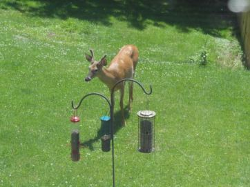 backyard-deer